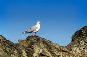 A seagull on a rock