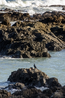 A shag sits protected from the sea by rocks