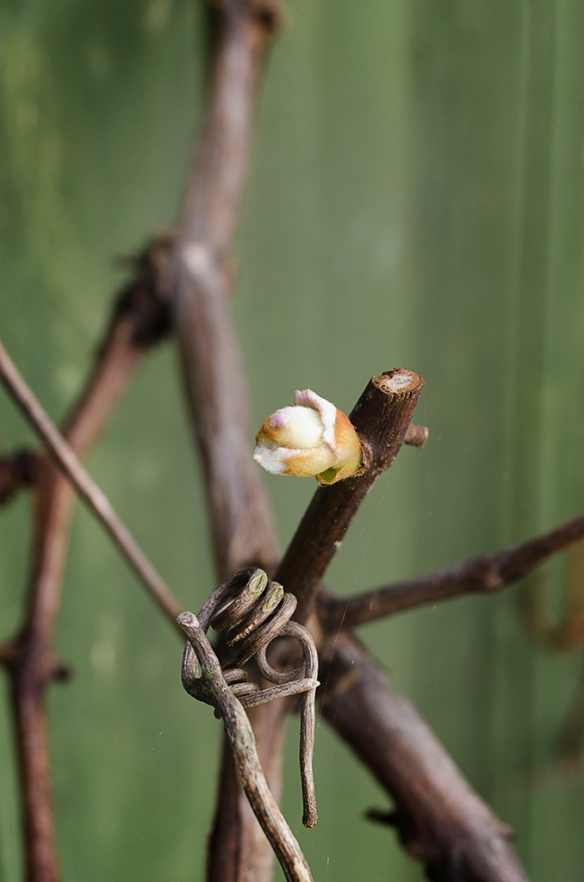 First Bud of Spring