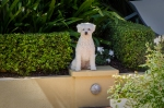 Bella on her plinth in the back yard. She'll sit there for ages just watching