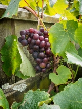 The first fruit of the vine